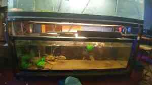 4 red belly piranhas (two breeding pairs)