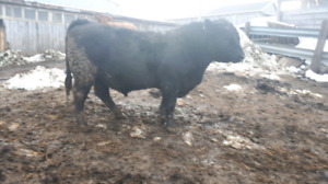 2 year old black Angus bull for sale