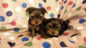 Micro femelle tea-cup Yorkshire Terrier