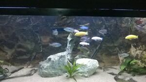 Male Cichlids sale/trade