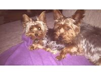 Yorkshire terrier toy puppies