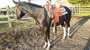 Coming 5 yr old Qh cross