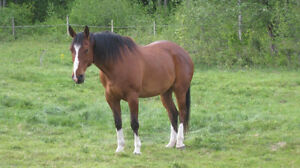 Cheval 16 mains
