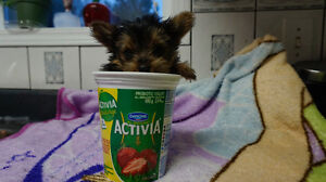 YORKIES ~MICRO & T.CUP BOYS!- BUTTON NOSE FACES!! Ready Dec 16