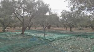 organic olive oil from greece
