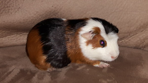 The perfect little guinea pig!
