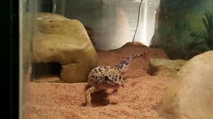 Geckos léopard