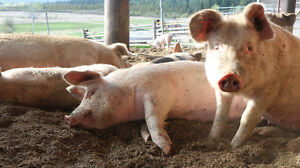 Grower and Butcher Hogs for Sale!