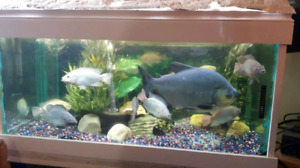 Going out of tilapia cichlids.