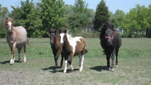 Small Ponies for Sale
