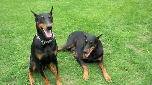 Doberman Puppies .