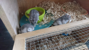 Young Russian Winter white hamsters