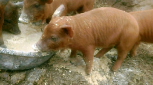 Heritage piglet for sale (intact male)