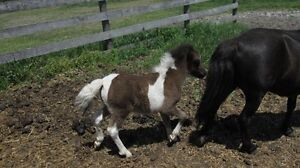 Weanling Pony