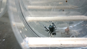 Jumping spiders for sale! SOLD OUT