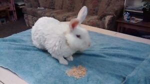 New Zealand White meat rabbit buck for sale