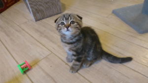 Scottish fold and scottish longhair kittens for sale.