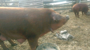 Red wattle sow for sale