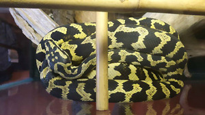 Jungle carpet python with everything