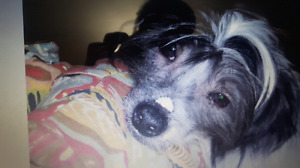 Missing Chinese crested male dog