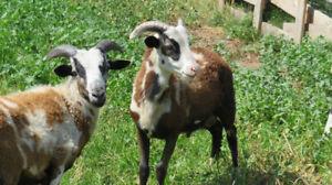Sheep | Adopt or Rehome Livestock in Vernon | Kijiji Classifieds