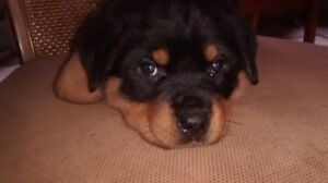 ROTTWEILER PUPPY AVAILABLE