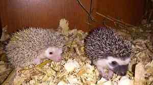 Registered Hedgehog Breeder, Peace Country Hedgehogs.  Strathcona County Edmonton Area image 5