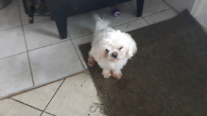 Shih tzu  female .bichon male 14 months