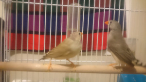 Zebra finches (mother & daughter pair)
