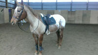 Appaloosa Mare For Lease