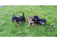 Border terrier Lakeland cross puppies, pups