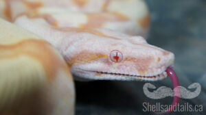 Boa Constrictors  - Various Morphs