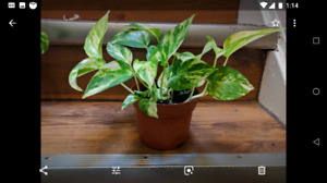 Beautiful, healthy, air-cleaning vining pothos plants (5 avail.)