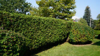 Hedge Trimming and Leaf clean up service
