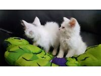 Only one left. Female Persian X Turkish angora kitten
