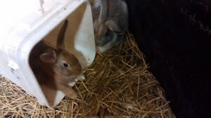 Baby rabbits/bunnies for sale