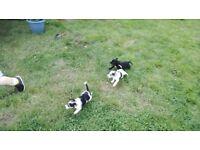 Beautiful jackrussell puppys