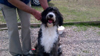 New home for beautiful brindle female Bernedoodle