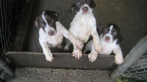 First Class Hunting Puppies for Sale!!!