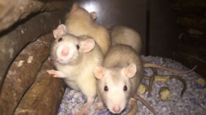 Siamese rats on sale at The Extreme Aquarium
