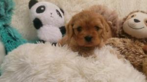 Cavoodle pups (cavalier x poodle)