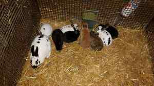 Mini rex pure bred babies