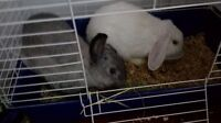 2 bunnies and cage for sale