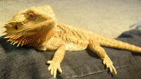 2yr old Bearded Dragon for sale to good home