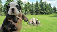 Purebred Registered Olde English Bulldog Puppies