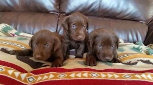 CKC registered Chocolate Labrador Puppies for Sale