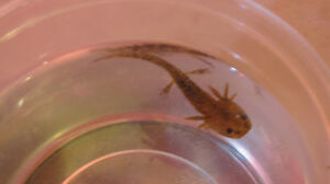 Axolotls- several morphs at Downsview Sunday Kitchener / Waterloo Kitchener Area image 2