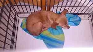 Chihuahua red deer legged