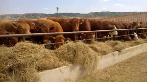 WINTER CUSTOM FEEDING!!!!! Beef cattle $2.50 depending on number