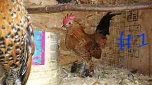 Jeune coq nain
